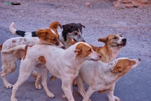 Group of stray dogs on the street